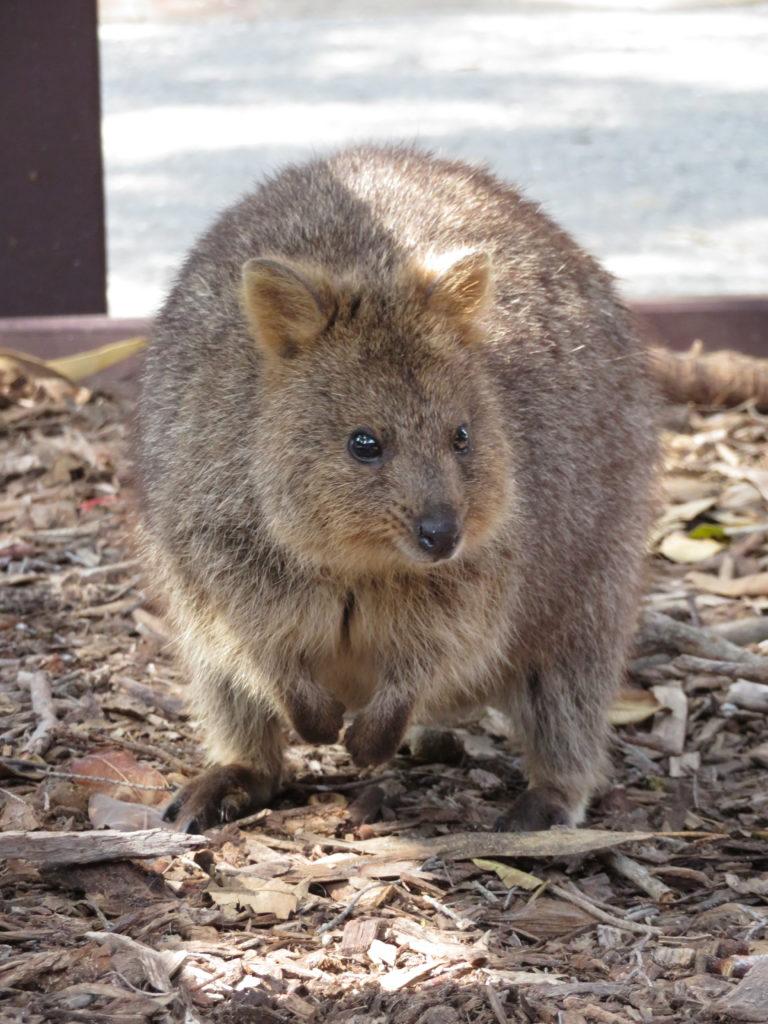 rottnest island quokka cute australian animal