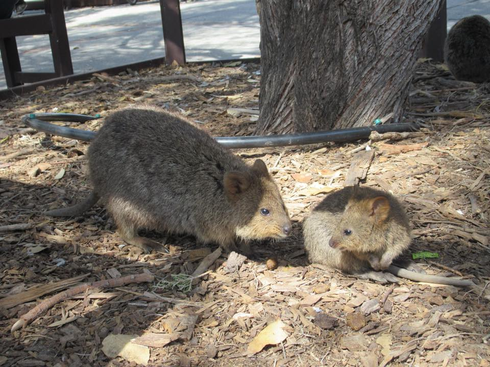 rottnest island quokkas cute australian animal itinerary things to see and do where to find