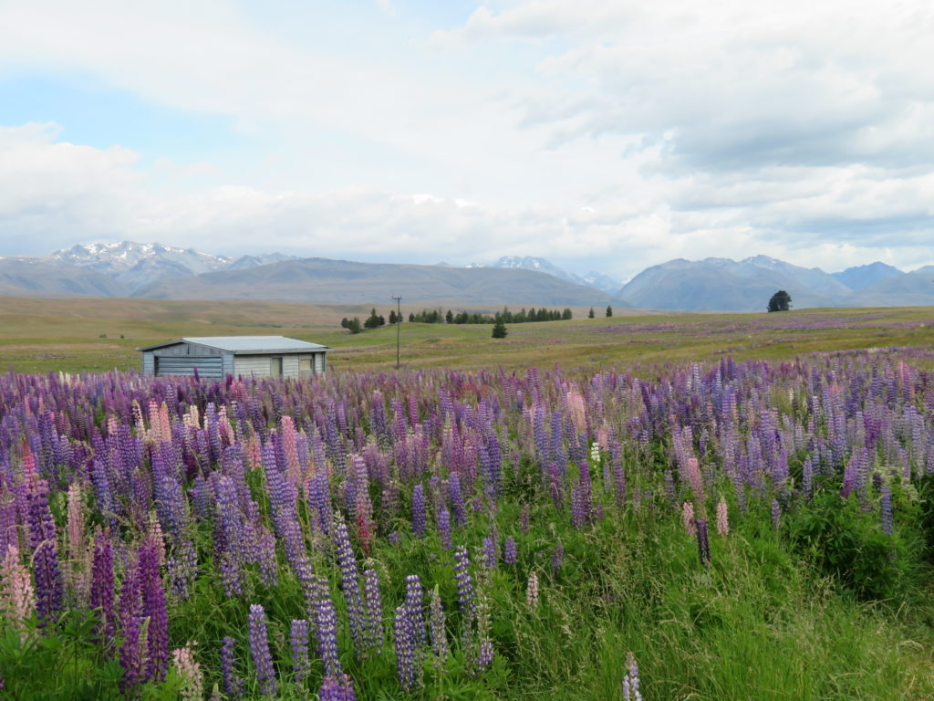 lake tekapo lupins summer where to find new zealand south island tips road trip