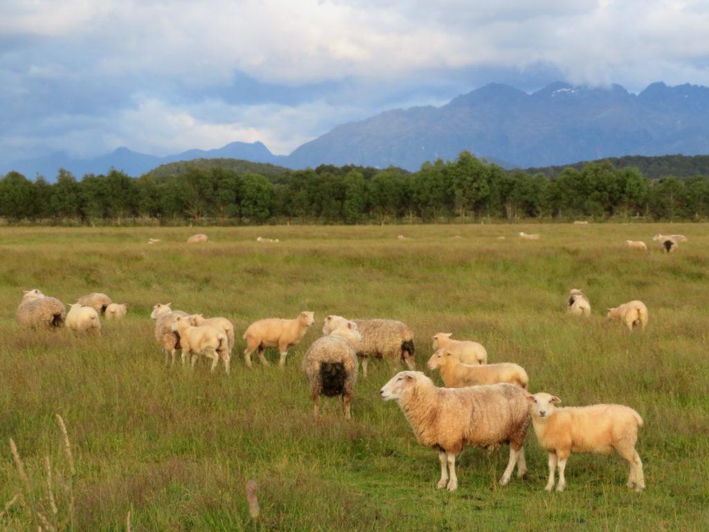 new zealand south island te aneu sheep landscape