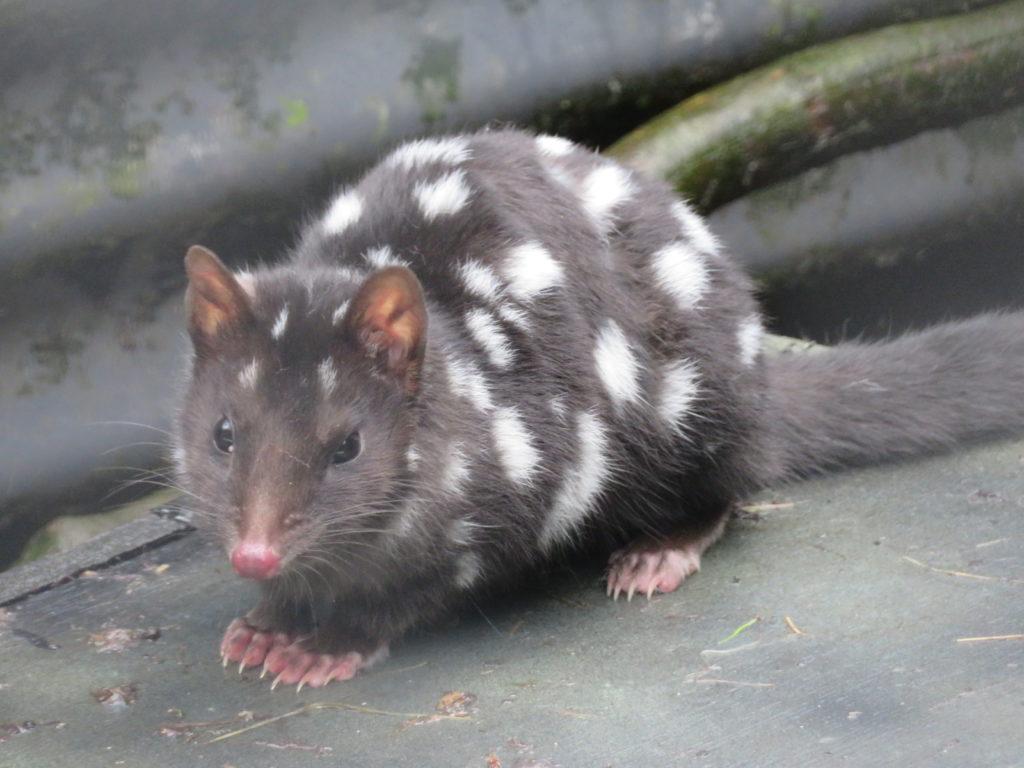 quoll tasmania devils at cradle zoo cute australian animals best of tasmania itinerary