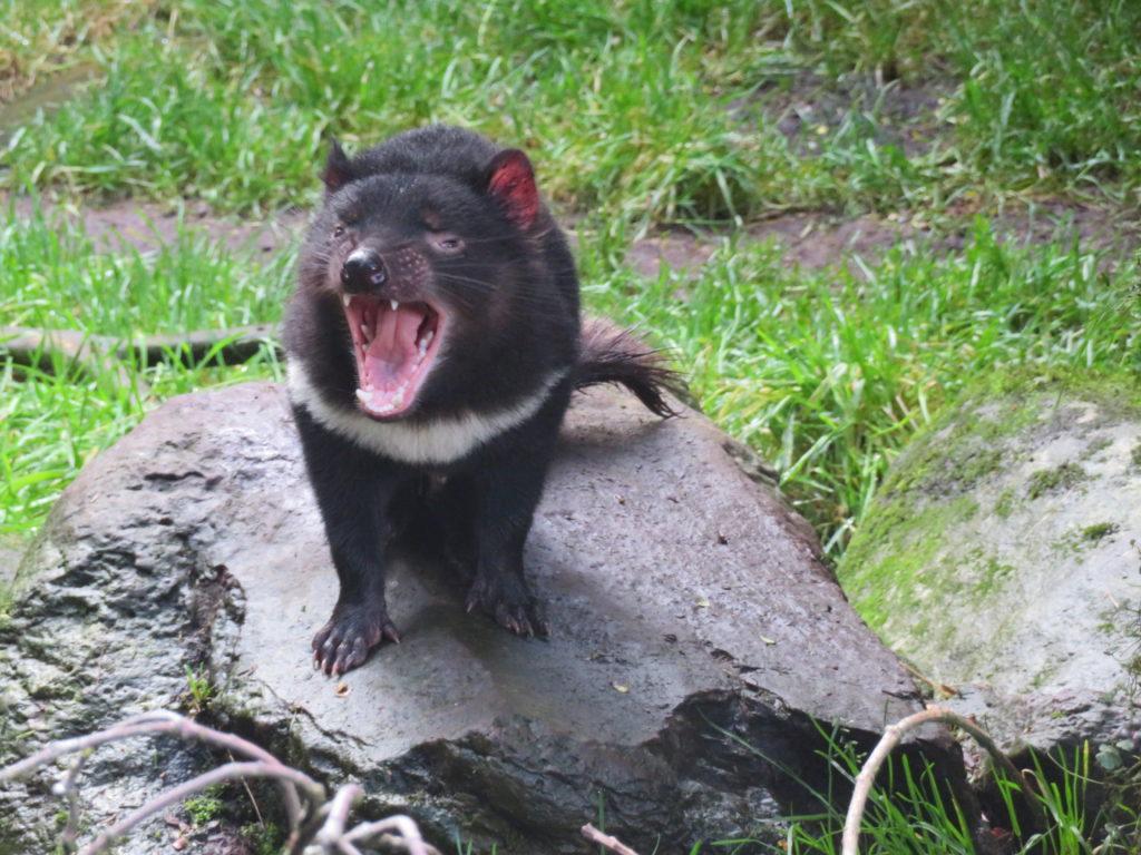 tasmanian devil devils @ cradle tasmania cradle mountain