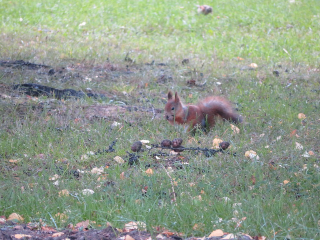squirrel in rovaniemi things to see and do autumn Finland guide