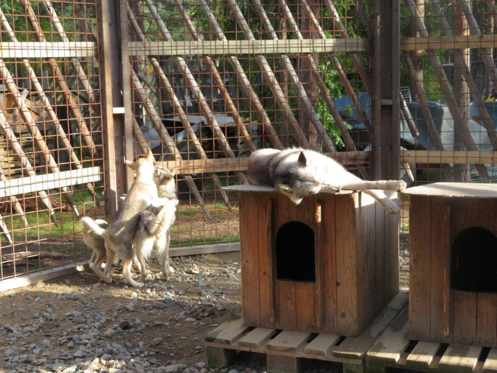 husky farm santa claus village rovaniemi things to see and do