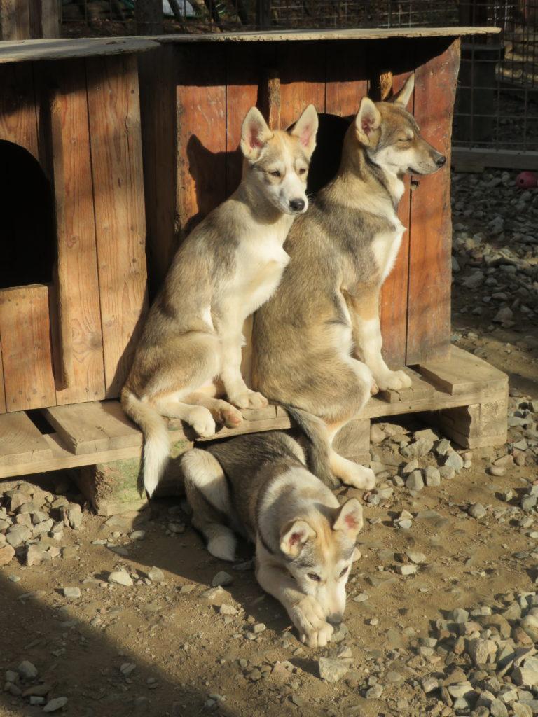 husky farm puppies september autumn santa claus village rovaniemi lapland finland