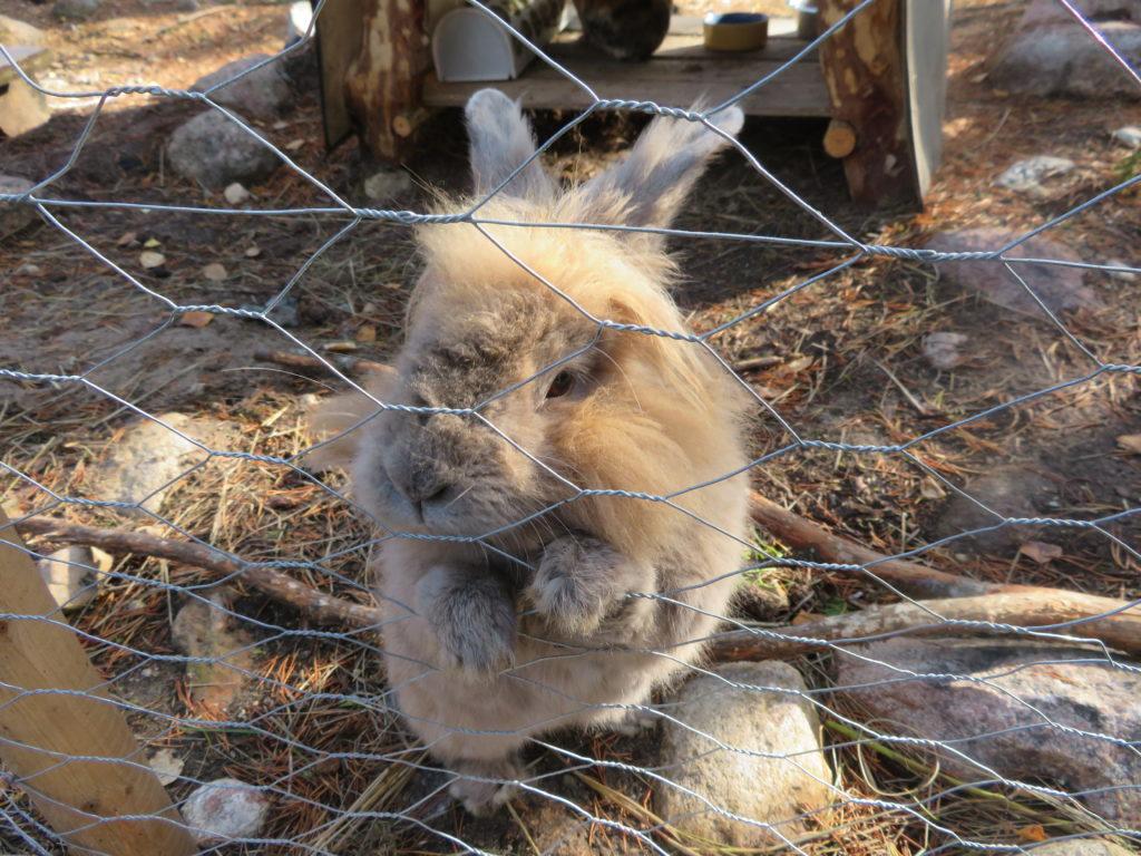 cutest rabbit at santa claus village rovaniemi finland lapland petting zoo