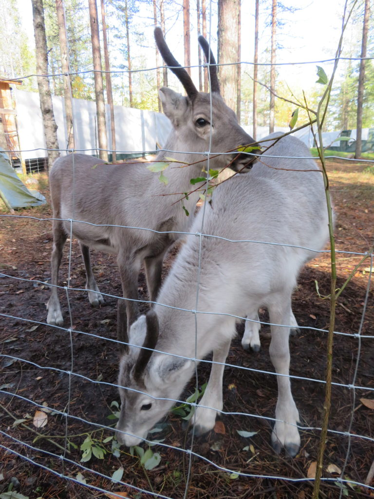 baby reindeer elfs farm yard petting zoo things to see and so at santa claus village rovaniemi