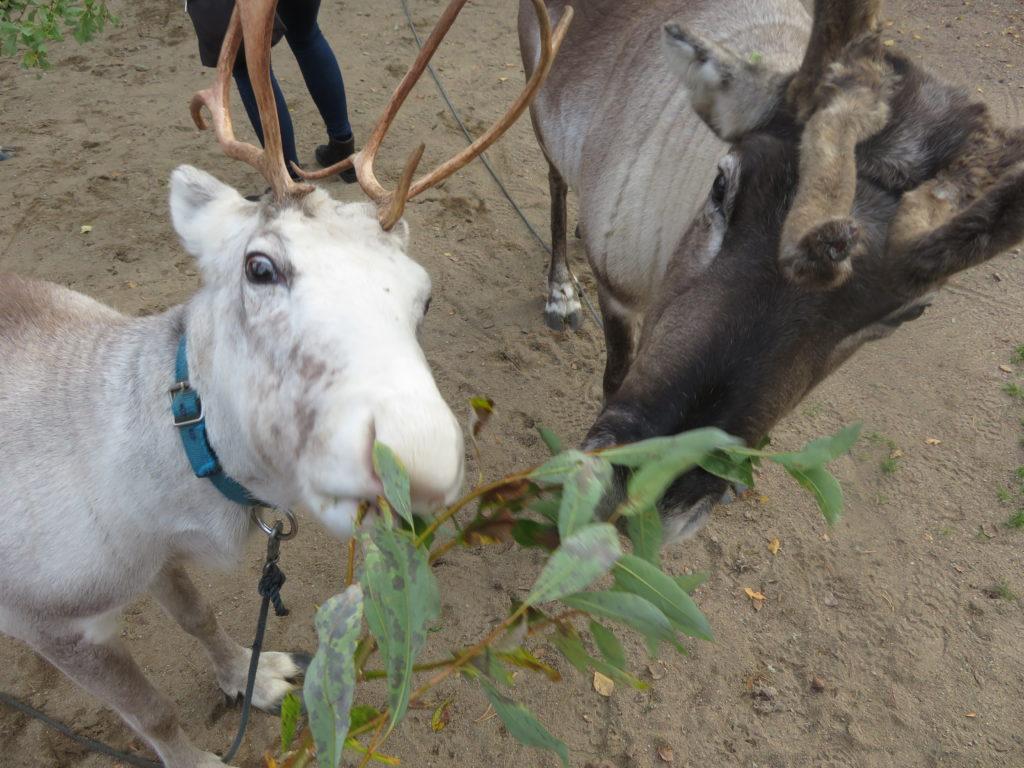 feeding the reindeer at santa claus village in rovaniemi lapland finland