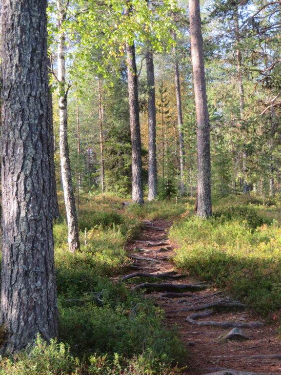 day trip to the finnish forest from rovaniemi hiking walking trail in autumn september