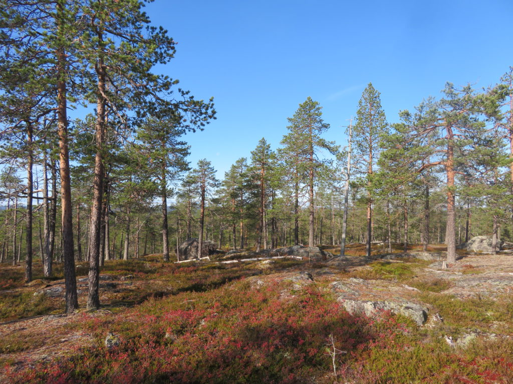 finnish forest lapland rovaniemi autumn beyond arctic guided walking tour hiking trail