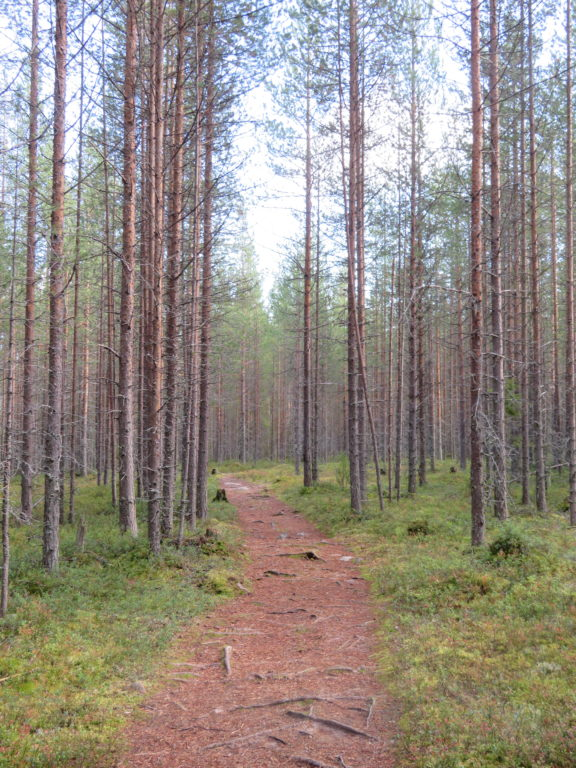 day trip to the finnish forest from rovaniemi hiking walking trail in autumn september autumn leaves pine trees
